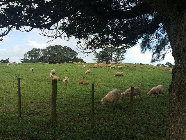Sheeps at One Tree Hill